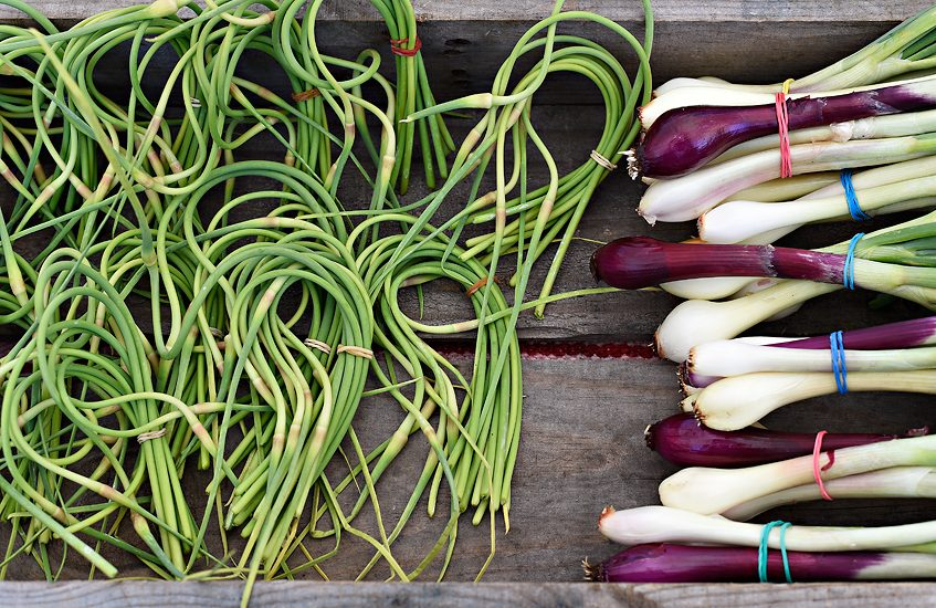 Garlic scapes and bunching onions from Yokayo Roots Farm; Ukiah, CA